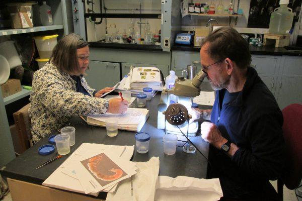 Volunteers identify benthic macroinvertebrates at CSI's lab